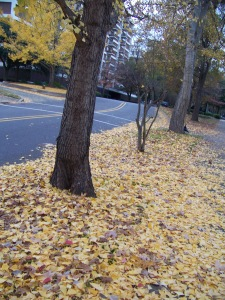 fall yellow leaves 6