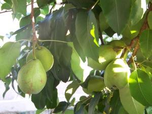 pear tree 3