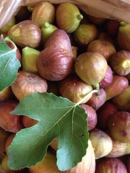 fig tree 1