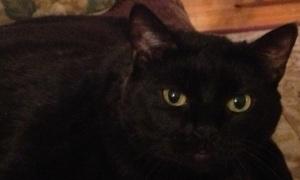 jaz cat golden eyes2